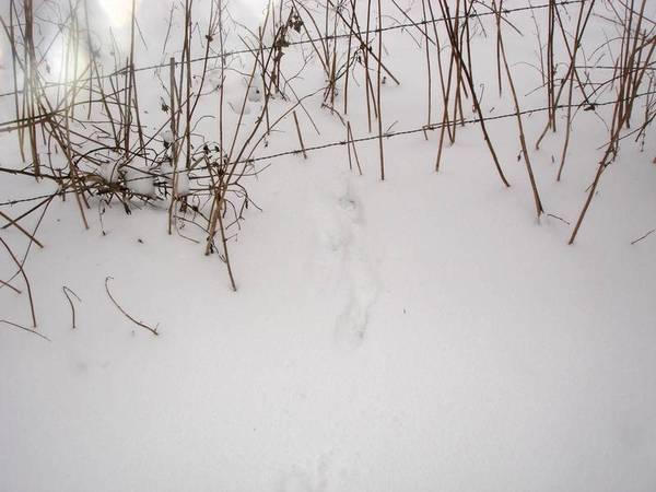 Traces de renard ?