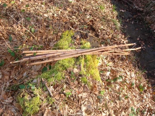 Récolte de tiges d'environ 1 mètre de long